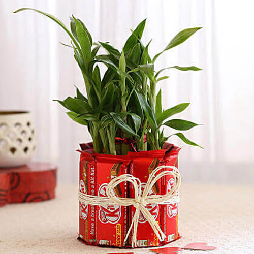 Green Lucky Bamboo Plant with Nestle KitKat Chocolates