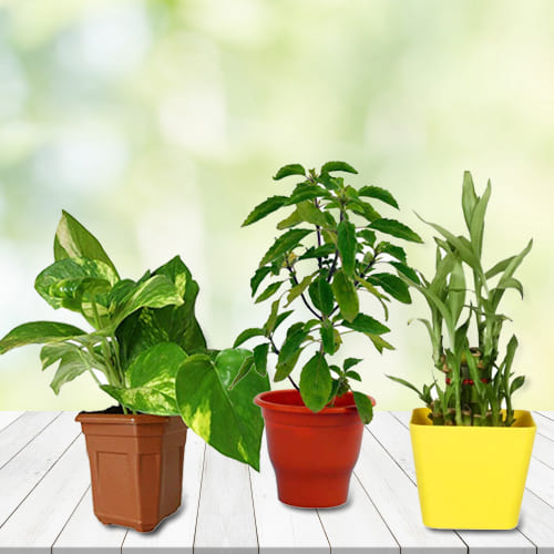 Exotic Combo of Good Luck Plants in Plastic Pots