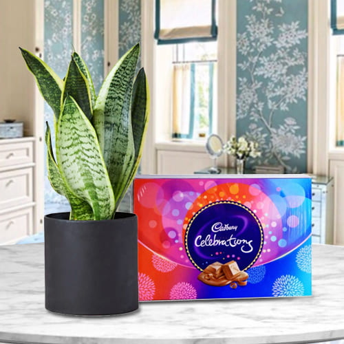 Decorative Snake Plant in a Plastic Pot with Delicious Cadbury Celebration Pack <br>