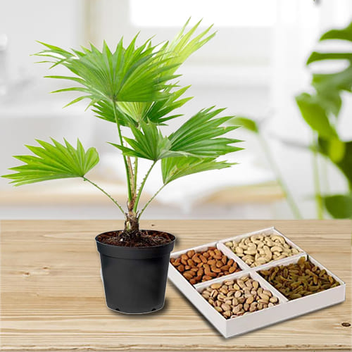 Exquisite Combo Gift of China Palm in a Plastic Container with Dry Fruits Assortment<br>