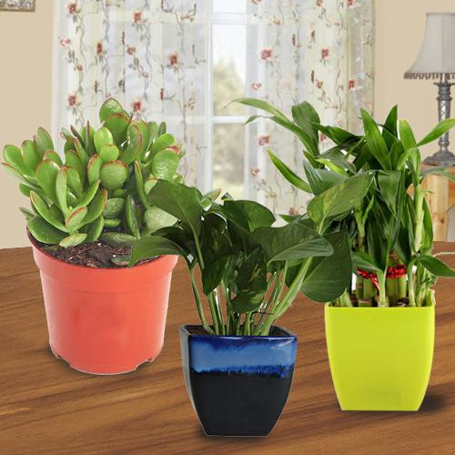 Charming Gift of 3 Indoor Plants for Health, Wealth N Luck