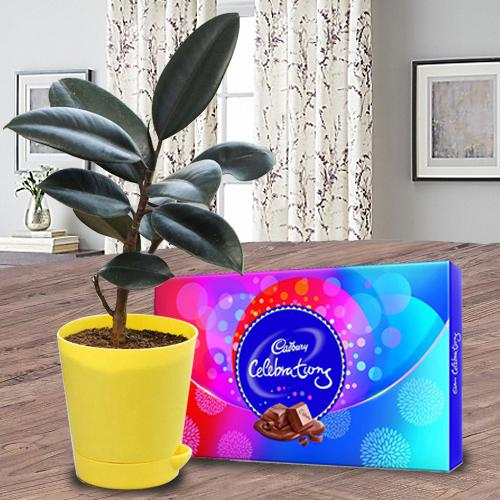 Eye-Catching Gift of Rubber Plant with Chocolate
